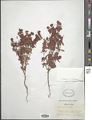 view Eriogonum abertianum var. ruberrimum (Gand.) Gand. digital asset number 1