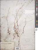 view Dopatrium junceum (Roxb.) Buch.-Ham. & Benth. digital asset number 1