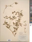 view Torenia thouarsii (Cham. & Schltdl.) Kuntze digital asset number 1