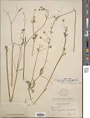 view Ranunculus bongardii var. tenellus (A. Gray) Greene digital asset number 1