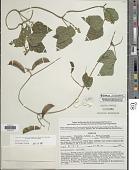 view Phaseolus lunatus L. digital asset number 1