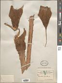 view Bromelia karatas L. digital asset number 1