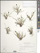 view Carex norvegica Retz. digital asset number 1