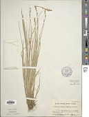 view Carex canescens L. digital asset number 1