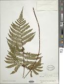 view Ctenitis hemsleyana (Baker ex Hemsl.) Copel. digital asset number 1