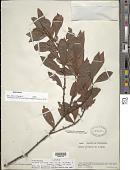 view Myrsine coriacea (Sw.) R. Br. ex Roem. & Schult. subsp. coriacea digital asset number 1