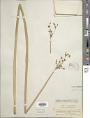 view Schoenoplectus tabernaemontani (C.C. Gmel.) Palla digital asset number 1