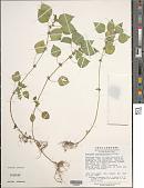 view Acalypha brachystachya Hornem. digital asset number 1