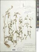 view Galinsoga parviflora Cav. digital asset number 1