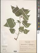 view Malvaviscus arboreus var. mexicanus Schltdl. digital asset number 1