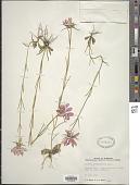 view Sabatia glutianoides digital asset number 1