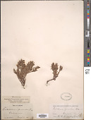 view Penstemon thompsoniae digital asset number 1