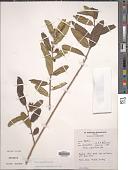 view Ficus capreifolia Delile digital asset number 1