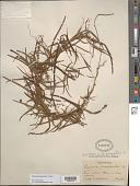 view Dioscorea quinquefolia (L.) Raz digital asset number 1