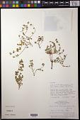 view Euphorbia chamaeclada Ule digital asset number 1