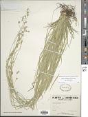 view Carex deweyana Schwein. digital asset number 1