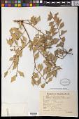 view Jodina rhombifolia (Hook. & Arn.) Reissek digital asset number 1