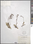 view Micranthes calycina (Sternb.) Gornall & H. Ohba digital asset number 1