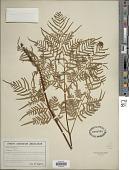 view Pteridium aquilinum var. pseudocaudatum digital asset number 1