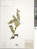 view Wedelia trilobata (L.) Hitchc. digital asset number 1