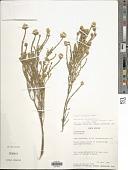 view Aspalathus quinquefolia digital asset number 1