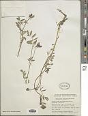 view Hedysarum mackenziei Richardson digital asset number 1
