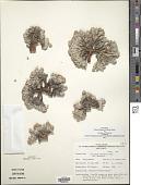 view Eriogonum shockleyi S. Watson var. shockleyi digital asset number 1