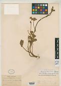 view Ranunculus bangii Lourteig digital asset number 1