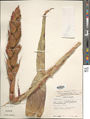 view Tillandsia orbicularis L.B. Sm. digital asset number 1