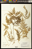 view Selaginella cf. flagellifera W. Bull digital asset number 1
