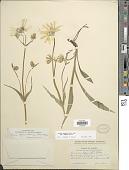 view Arnica angustifolia subsp. angustifolia Vahl digital asset number 1