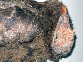 view Meleagris gallopavo tularosa Schorger digital asset number 1
