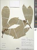 view Acridocarpus smeathmannii (DC.) Guill. & Perr. digital asset number 1