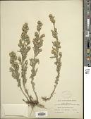 view Symphyotrichum commutatus subsp. crassulus, ined. 2021 digital asset number 1