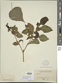 view Lycianthes quichensis (J.M. Coult. & Donn. Sm.) Bitter digital asset number 1