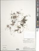 view Rhynchospora albescens (Miq.) Kük. digital asset number 1