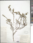 view Muraltia caledonensis Levyns digital asset number 1
