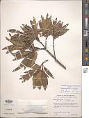 view Quercus gentryi C.H. Mull. digital asset number 1