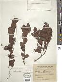 view Forsteronia leptocarpa (Hook. & Arn.) A. DC. digital asset number 1