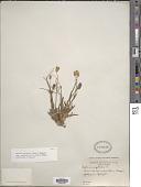 view Silene uralensis subsp. uralensis var. mollis digital asset number 1