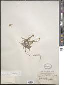 view Lesquerella arctica (Wormsk. & Hornem.) S. Watson digital asset number 1