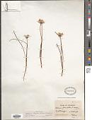 view Allium textile A. Nelson & J.F. Macbr. digital asset number 1