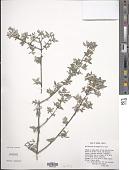 view Philadelphus microphyllus A. Gray digital asset number 1