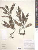 view Peperomia lancifolia Hook. digital asset number 1