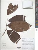 view Icacina mannii Oliv. digital asset number 1