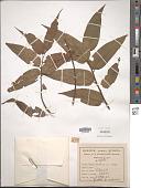 view Trema micranthum (L.) Blume digital asset number 1