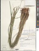 view Calamagrostis hongii Paszko & Bing Liu digital asset number 1