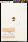 view Caloplaca flavorubescens (Huds.) J.R. Laundon digital asset number 1