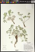 view Pediomelum californicum (S. Watson) Rydb. digital asset number 1