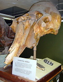 view Elephas boreus Hay digital asset number 1